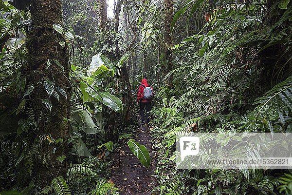 Wanderer auf einem Wanderweg durch dichte Vegetation im Nebelwald  Reserva Bosque Nuboso Santa Elena  Provinz Guanacaste  Costa Rica  Mittelamerika