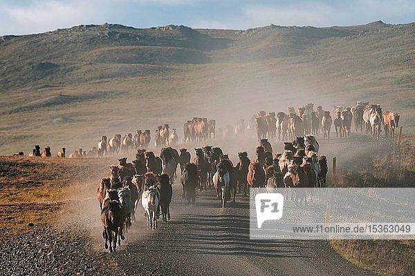 Islandpferde (Equus islandicus)  Herde wird vom Hochland ins Tal getrieben  Pferdeabtrieb oder Réttir  bei Laugarbakki  Nordisland  Island  Europa