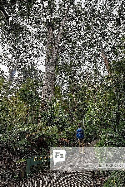 Junger Mann auf Wanderweg im Kauri Wald  Kauri Walks  Four Sisters  Waipoua Forest  Northland  Nordinsel  Neuseeland  Ozeanien