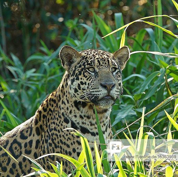 Jaguar (Panthera onca) hält Ausschau am Flussufer  Pantanal  Mato Grosso  Brasilien  Südamerika
