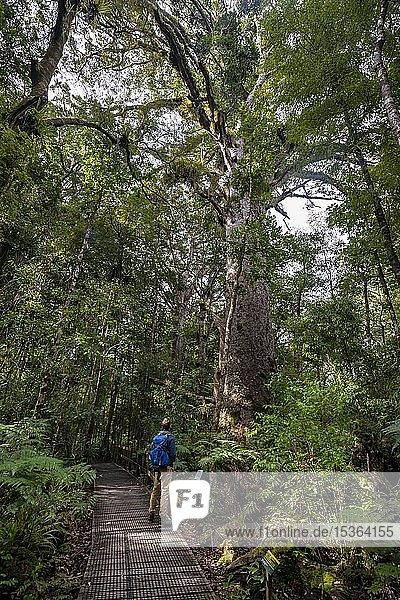 Junger Mann auf Wanderweg im Kauri Wald neben Kauri-Baum (Agathis australis)  Kauri Walks  Waipoua Forest  Northland  Nordinsel  Neuseeland  Ozeanien