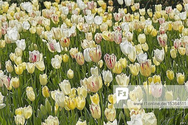 Tulpenbeet  Alanya  Türkei  Asien