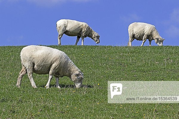 Schafe (Ovis aries) am Deich  Westerhever  Schleswig-Holstein  Deutschland  Europa