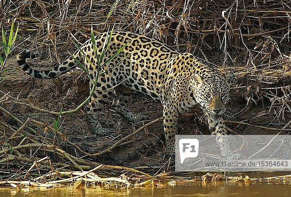 Jaguar (Panthera onca) am Flussufer  Pantanal  Mato Grosso  Brasilien  Südamerika