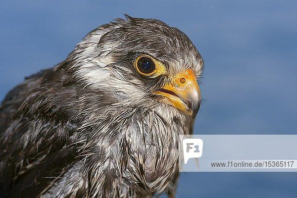 Amurfalken (Falco amurensis)  Tierportrait  blauer Hintergrund  Sibirien  Russland  Europa
