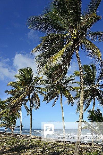 Kokospalmen am Strand bei Uvero Alto  Punta Cana  Karibik  Dominikanische Republik  Mittelamerika