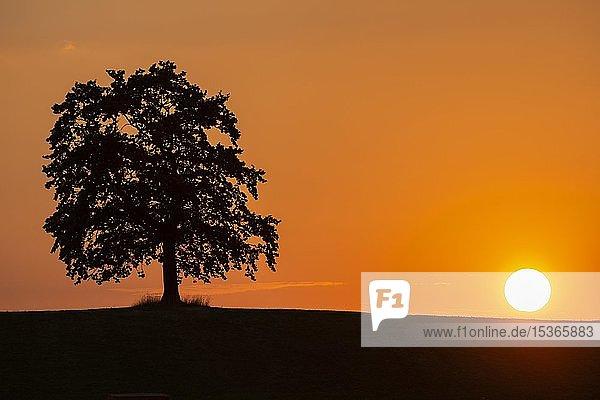 Eiche im Sonnenuntergang  Silhouette  Münsing  Oberbayern  Bayern  Deutschland  Europa