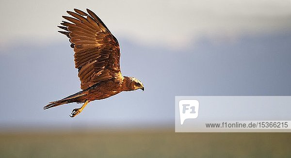 Rohrweihe (Circus aeruginosus)  Weibchen im Flug  Castilla-La Mancha  Spanien  Europa