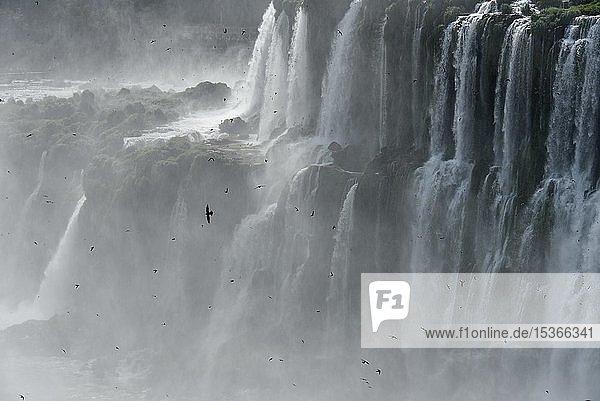 Viele Rußsegler (Cypseloides senex) vor den herab stürzenden Wassermassen des Garganta del diablo  Teufelsschlund  Iguazu Fälle  Puerto Iguazu  Grenze zwischen Brasilien und Argentinien