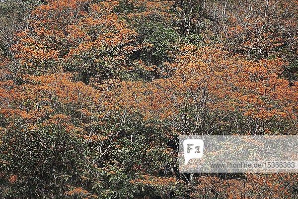 Orange blühende Korallenbäume (Erythrina poeppigiana)  Orosi-Tal  Provinz Cartago  Costa Rica  Mittelamerika