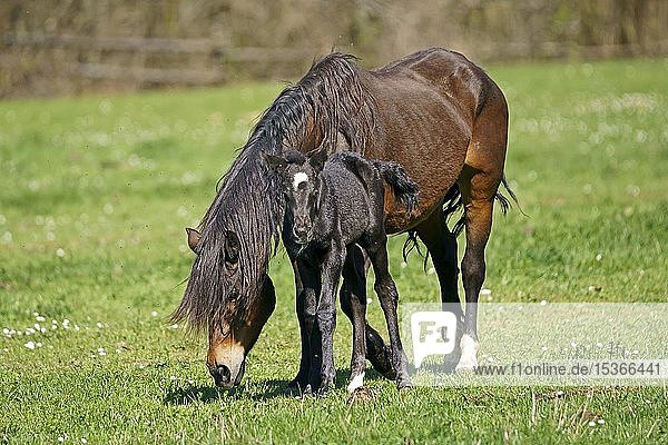 Domestic horses  mare with foal grazes on the pasture  Germany  Europe