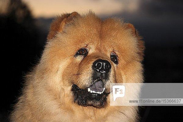 Chow Chow Rüde  3 Jahre alt  Hunderasse aus China