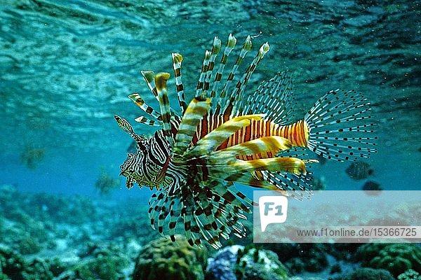 Gewöhnlicher Rotfeuerfisch (Pterois volitans) schwimmt über ein Korallenriff  Salomonen  Ozeanien