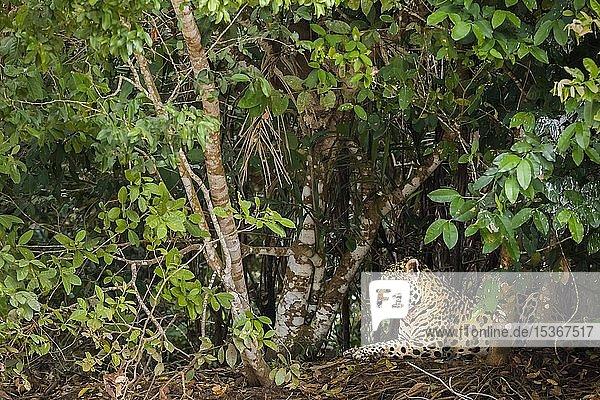 Jaguar (Panthera onca)  adult  unter dichten Büschen ruhend  Pantanal  Mato Grosso  Brasilien  Südamerika