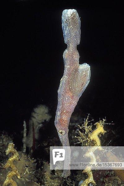 Robuster Geisterpfeifenfisch (Solenostomus cyanopterus)  Raja Ampat  Irian Jaya  Indonesien  Asien