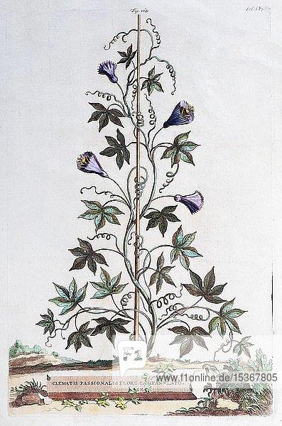 Waldrebe (Clematis)  Handkolorierter Kupferstich von Abraham Munting aus Naauwkeurige Beschryving der Aardgewassen  Leyden Utrecht 1696  Niederlande  Europa