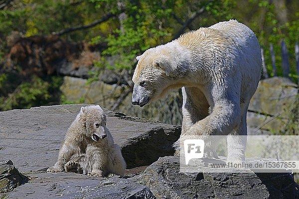 Eisbären (Ursus maritimus)  Muttertier mit Jungtier  captive  Berlin  Deutschland  Europa