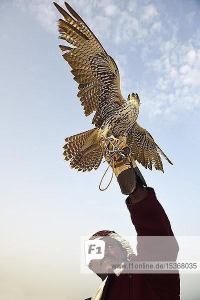 Falkner mit seinem Falken  Mesaieed  Doha  Qatar  Qatar