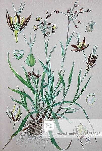 Behaarte Hainsimse (Luzula pilosa)  historische Illustration von 1885  Deutschland  Europa