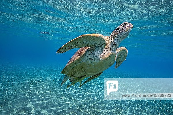 Grüne Meeresschildkröte (Chelonia mydas) mit Schiffshaltern (Echeneis naucrates) schwimmt unter der Wasseroberfläche im flachen Wasser  Sonneneinstrahlung  Marsa Alam  Ägypten  Afrika