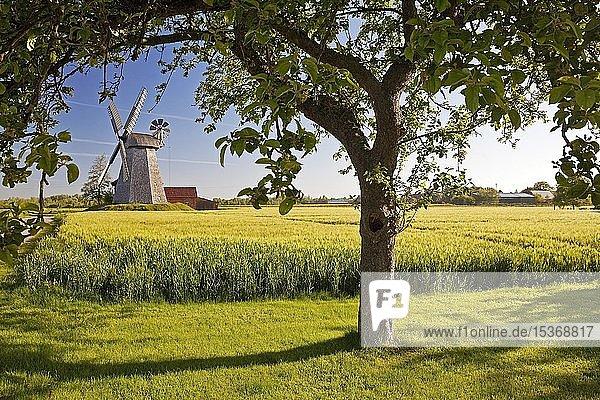 Getreidefeld vor Windmühle Bierde  Wall-Holländer  Petershagen  Westfälische Mühlenroute  Nordrhein-Westfalen  Deutschland  Europa
