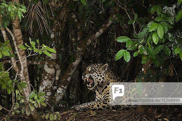 Jaguar (Panthera onca)  erwachsenes Männchen  fauchend  dichte Büsche  Pantanal  Mato Grosso  Brasilien  Südamerika