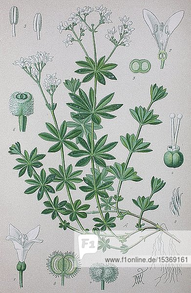 Waldmeister (Galium odoratum)  historische Illustration von 1885  Deutschland  Europa