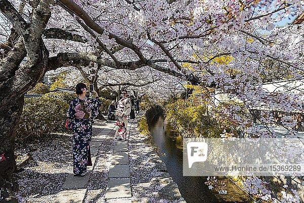 Fußweg entlang eines Kanals  Kirschblüten im Frühling  Philosopher's Path oder Tetsugaku no michi  Kyoto  Japan  Asien