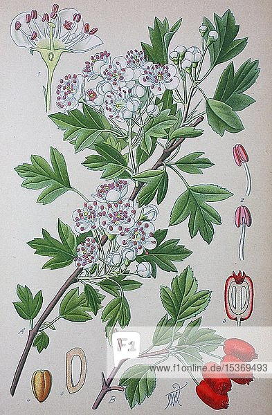 Eingriffeliger Weißdorn (Crataegus monogyna)  historische Illustration von 1885  Deutschland  Europa