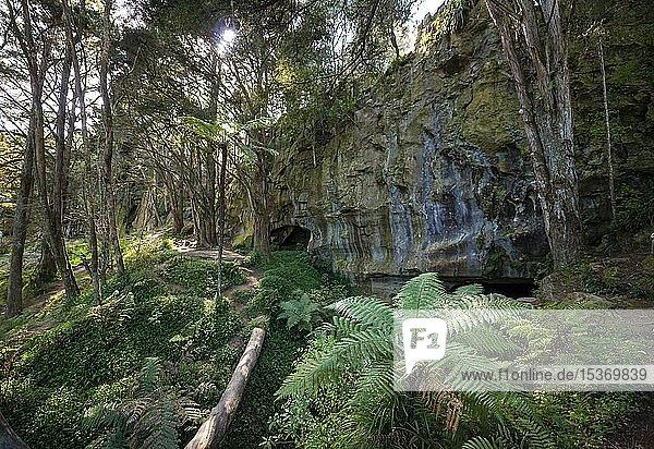 Wald mit Farnen  Eingang zu Waipu Höhlen  Northland  Nordinsel  Neuseeland  Ozeanien