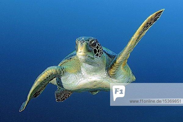 Grüne Meeresschildkröte (Chelonia mydas) schwimmt im blauen Wasser  Galapagos Inseln  Ekuador