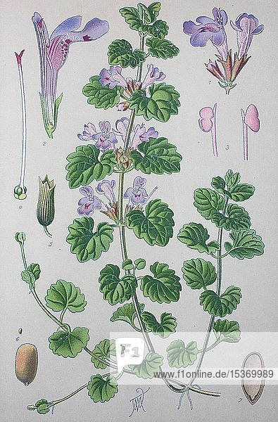 Gundermann (Glechoma hederacea)  historische Illustration von 1885  Deutschland  Europa