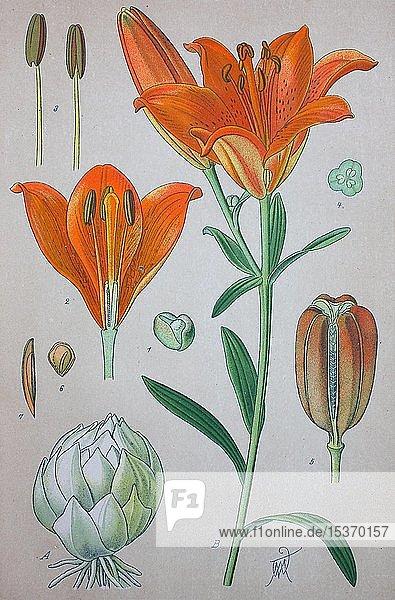 Feuerlilie (Lilium bulbiferum)  historische Illustration von 1885  Deutschland  Europa