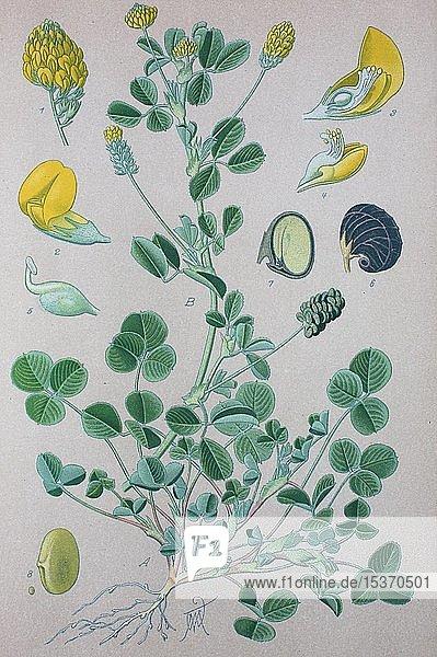 Hopfenklee (Medicago lupulina)  historische Illustration von 1885  Deutschland  Europa