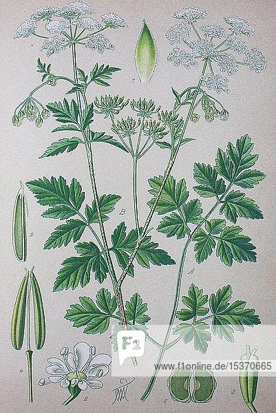 Hecken-Kälberkropf (Chaerophyllum temulum)  historische Illustration von 1885  Deutschland  Europa