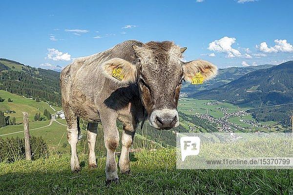 Junges Kalb (Bos primigenius taurus) auf einer Almwiese  Braunvieh  Hochbrixen  Brixen im Thale  Tirol  Österreich  Europa