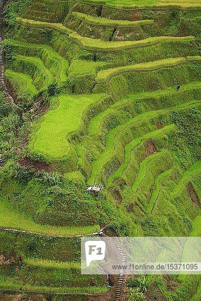 Reisterrassen von Banaue  Luzon  Philippinen  Asien
