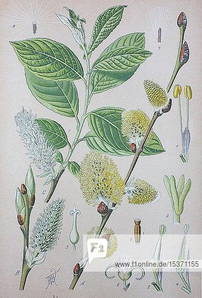 Sal-Weide (Salix caprea)  historische Illustration von 1885  Deutschland  Europa