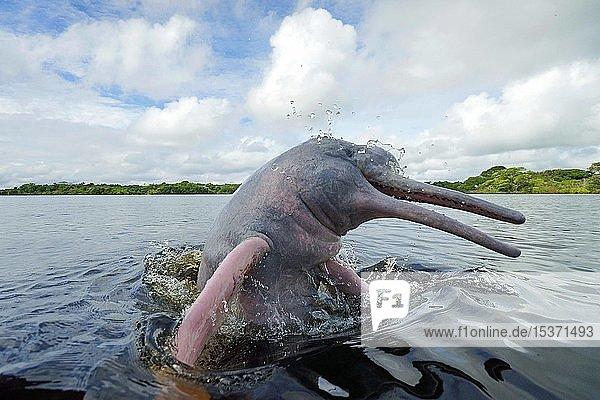 Amazonasdelfin (Inia geoffrensis) springt spritzend aus dem Wasser  Acajatuba See  Amazonas Region  Brasilien  Südamerika