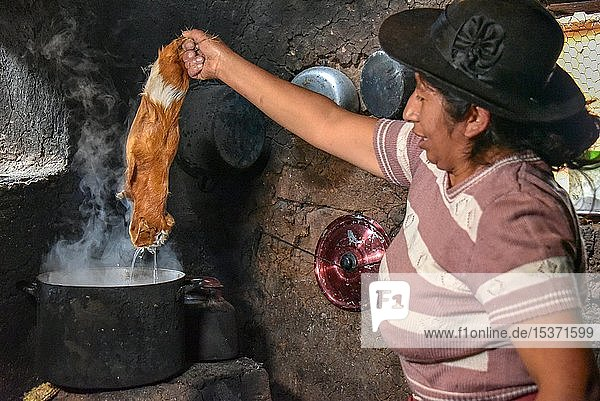 Local woman holding Cuy  giant guinea pig over pot of boiling water for depilation  preparation for preparation to traditional Cuy dish  Cusco  Peru  South America