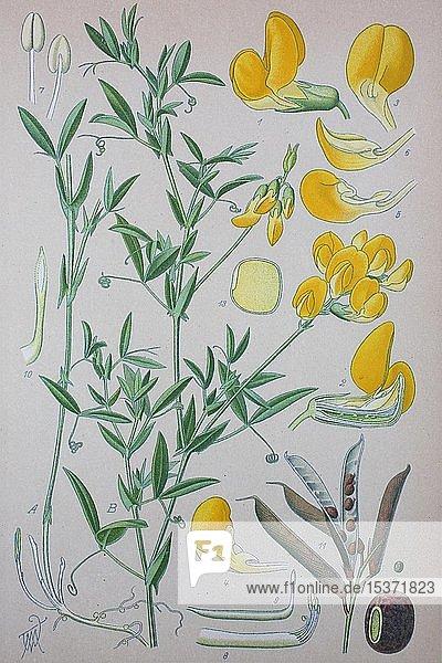 Wiesen-Platterbse (Lathyrus pratensis)  historische Illustration von 1885  Deutschland  Europa