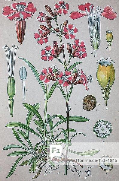 Gewöhnliche Pechnelke (Silene viscaria)  historische Illustration von 1885  Deutschland  Europa