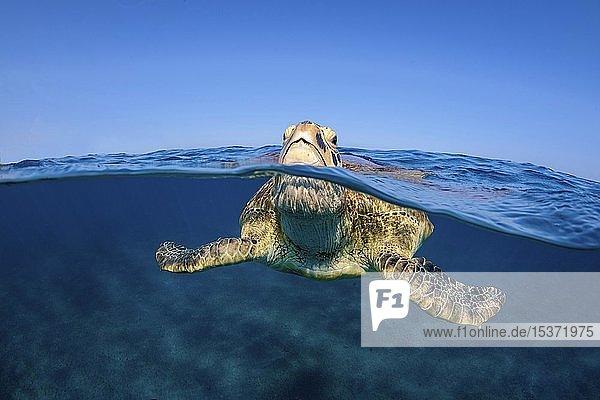 Grüne Meeresschildkröte (Chelonia mydas) holt Luft an der Wasseroberfläche  Split-Level Aufnahme  Marsa Alam  Ägypten  Afrika