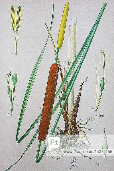 Breitblättriger Rohrkolben (Typha latifolia)  historische Illustration von 1885  Deutschland  Europa