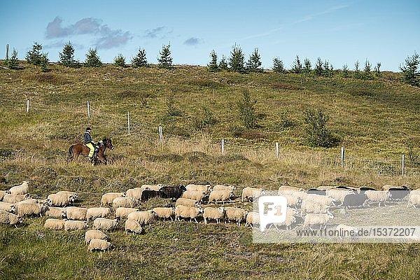Schafe (Ovis aries)  Herde wird vom Hochland ins Tal getrieben  Schafabtrieb oder Réttir  bei Laugarbakki  Nordisland  Island  Europa