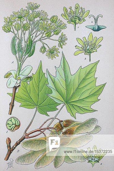 Spitzahorn (Acer platanoides)  historische Illustration von 1885  Deutschland  Europa