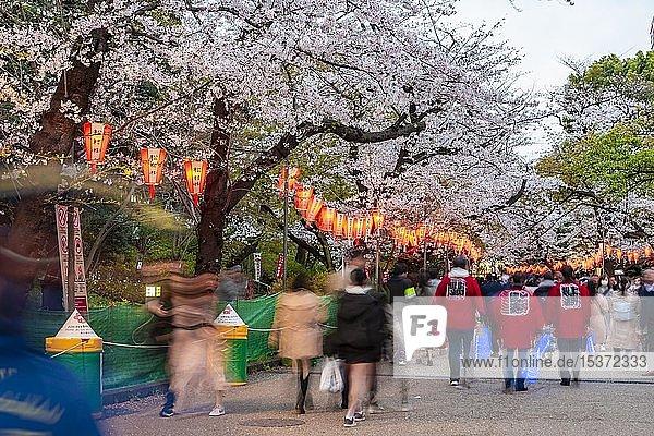 Menschenmenge unter leuchtenden Lampions in blühenden Kirschbäumen am Hanami Fest im Frühling,  Ueno-Park,  Tokio,  Japan,  Asien