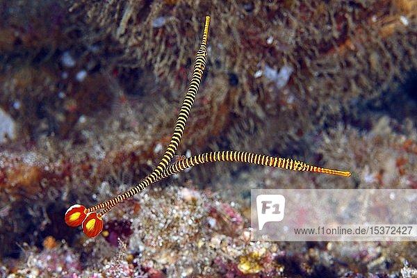 Sulu-Seenadeln (Doryrhamphus pessuliferus)  Sabang Beach  Mindoro  Philippinen  Asien