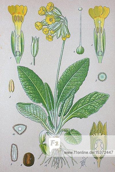 Echte Schlüsselblume (Primula veris)  historische Illustration von 1885  Deutschland  Europa
