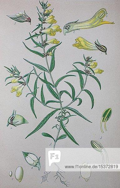 Wiesen-Wachtelweizen (Melampyrum pratense)  historische Illustration von 1885  Deutschland  Europa